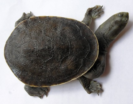 What does an unhealthy turtle look like? | Turtles NSW