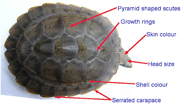 an example of an unhealthy turtle turtles nsw